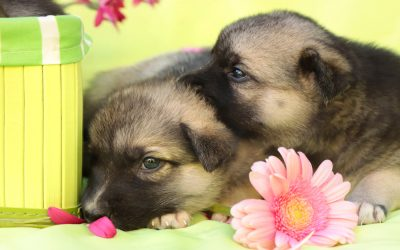 Thinking About Two Pups From the Same Litter?